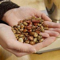 Chất ricin trong hạt thầu dầu độc như thế nào?