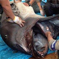 Chạy đua với thời gian để tìm hiểu về loài cá mập bí ẩn nhất hành tinh