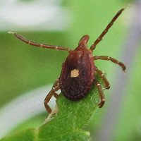Chỉ một vết cắn từ loài bọ tí hon này, bạn sẽ không thể ăn thịt mãi mãi