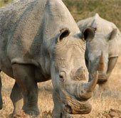 Chỉ vài năm nữa, tê giác sẽ tuyệt chủng