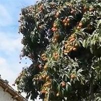 Chiêm ngưỡng cây vải quý 1.500 tuổi, giá mỗi quả 245.000 đồng