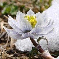 Chiêm ngưỡng hoa sen tuyết hiếm thấy tại Himalaya
