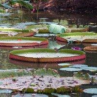 Chiêm ngưỡng loài sen khổng lồ nổi tiếng thế giới giữa Sài Gòn