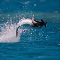 Chiêm ngưỡng tuyệt kỹ săn mồi của loài cá thích ăn… thịt chim!