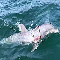 Chiến binh cá heo Mỹ trổ tài dò mìn trong 30 giây