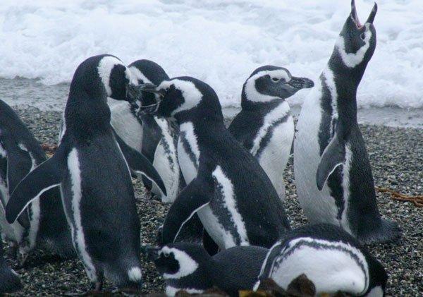 Chim cánh cụt chết hàng loạt tại Brazil