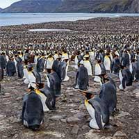 Chim cánh cụt hoàng đế tụ tập về