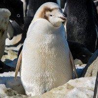 Chim cánh cụt lông trắng quý hiếm nổi bật giữa đàn