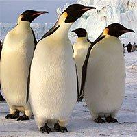 Chim cánh cụt phân biệt nhau bằng cách nào?