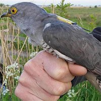 Chim cúc cu lập kỷ lục bay 6.500km trong một tuần