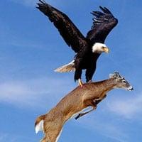 Chim đại bàng vàng sà xuống tấn công con nai, đây là loài chim có thể giết chết cả sói xám