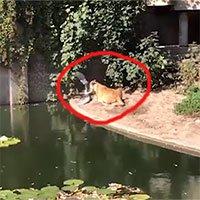 Chim diệc chết thảm vì bay vào chuồng sư tử