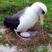 Chim hải âu già nhất thế giới đẻ trứng ở tuổi 66