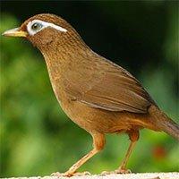 Chim họa mi và những thông tin cơ bản về loài chim này
