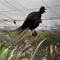 Chim học lỏm tiếng trẻ con, gào khóc inh ỏi vườn thú