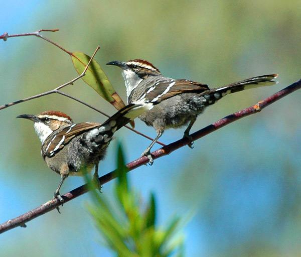 Chim Khướu Úc có thể sắp xếp âm thanh để truyền thông điệp như con người