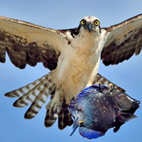 Chim ó quắp cá đuôi gai lao vút lên trời
