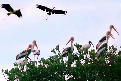 Chim quý hiếm đang xuất hiện nhiều ở Hòn Đất