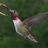 Chim ruồi có thể nhìn thấy màu sắc