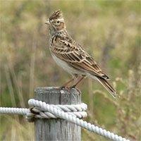 Chim sơn ca – Một trong tứ đại danh ca có giọng hót hay nhất