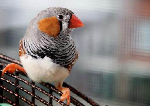 Chim sử dụng mùi hương để quyến rũ bạn tình
