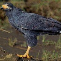 Chim ưng cái giao phối khác loài đẻ con lai hiếm
