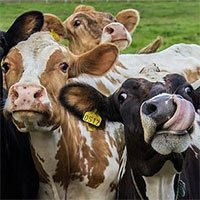 Cho bò ăn tảo để giảm phát thải khí nhà kính