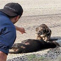 Chó canh xác đồng loại bị đâm chết do tai nạn