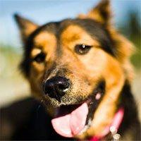 Chó có thể ngửi và nghe được bao xa?