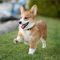 Chó Corgi – Giống chó chân ngắn đẹp nhất thế giới