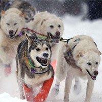 Chó kéo xe cổ xưa đã giúp con người tồn tại trong Kỷ băng hà