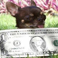 Chó nhỏ nhất thế giới được nhân bản 49 lần