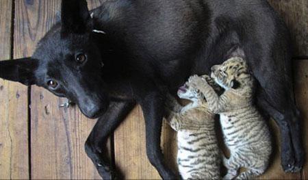 Chó nuôi sư tử hổ