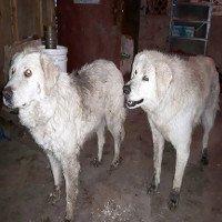 Chó thay chủ bảo vệ cả đàn cừu trong trận cháy rừng