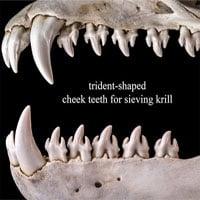 Choáng váng với hàm răng kỳ dị của loài hải cẩu ăn cua