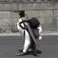 Chú chim cánh cụt đáng yêu nhất