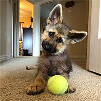 Chú chó chăn cừu Đức dù đã 2 tuổi nhưng vẫn mãi bị mắc kẹt trong hình hài chó con