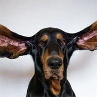 Chú chó có đôi tai dài nhất thế giới