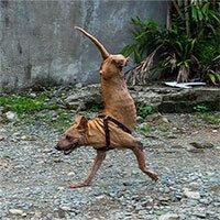 Chú chó hai chân với nghị lực người phải nể phục