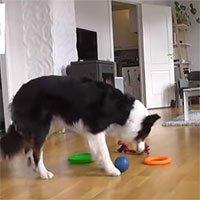 Chú chó thông minh phân biệt được 90 loại đồ vật khác nhau