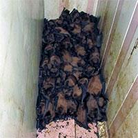 Chủ nhà khóc thét khi phát hiện 1.700 con dơi lúc nhúc, chiếm dụng ban công nhà để…