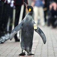 Chuẩn tướng chim cánh cụt duyệt đội danh dự Scotland