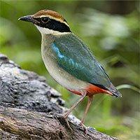 Chùm ảnh chim nằm trong sách đỏ ghi nhận ở Hà Nội