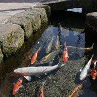 Chứng minh độ sạch của cống rãnh, Nhật Bản nuôi cá Koi thành từng đàn dưới làn nước cống trong vắt
