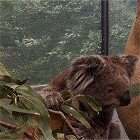 Chúng ta đã có cách cứu lấy loài gấu Koala, nhưng nó hơi