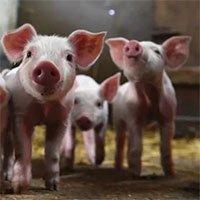 Chủng virus corona từ lợn ở Trung Quốc có thể