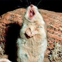 Chuột ăn thịt bò cạp và tru miệng hú dưới ánh trăng