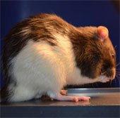 Chuột bị stress do ngày dài hơn