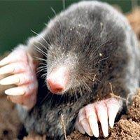 Chuột chũi cái mọc tinh hoàn để sinh tồn dưới lòng đất