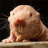 Chuột chũi cũng biết bắt cóc con của nhau và biến chúng thành nô lệ